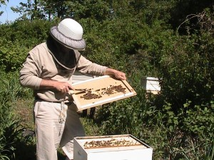 Working_a_Langstroth_hive