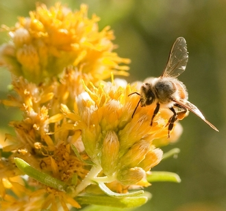 Scientists discover bees can 'turn back time,' reverse brain aging